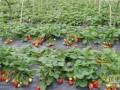 北京草莓采摘园 北京周边草莓采摘园 北京草莓采摘哪儿好?