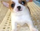 西宁纯种吉娃娃价格 西宁哪里能买到纯种吉娃娃犬