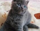 英短蓝猫自家繁殖