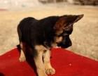 纯种德国牧羊犬,品相优,高品质 高智商的德国牧羊犬