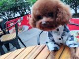 泰迪借配,两岁公狗,小体五斤,福田