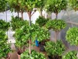 南昌租花办公室盆栽植物家庭盆栽花卉南昌年宵花卉盆栽