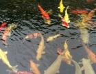 杭州渔场直销绍兴优良品种锦鲤鱼好价格好鱼
