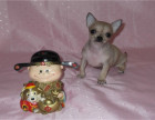 本犬舍成立至今已历经23年,拥有血统种犬四百多只,吉娃娃
