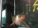 龙鱼1000出售