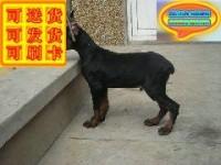 正规犬舍专业繁殖赛级杜宾幼犬 包健康 签协议