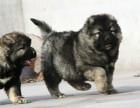 买狗找我 辽源哪里有卖纯种高加索犬,高加索犬多少钱?