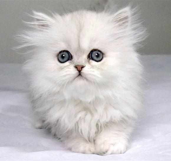 青岛哪里有金吉拉猫卖 猫舍直销 健康活泼 包纯种 保养活