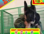 北京德牧犬舍——24小时营业种公借配——可送狗上门