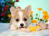 武汉专业十年繁殖两三色柯 基幼犬超长质保签协议