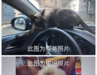 自己家繁育高品质暹罗猫