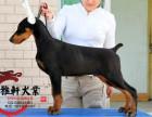 北京纯种杜宾多少钱一只 杜宾犬好养吗 杜宾图片