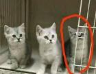 转让三个月银渐层母猫一只