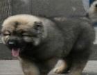 犬舍专业繁殖高加索巨型大骨架 包纯种健康养活