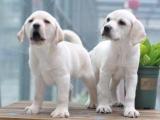 济南 纯种拉布拉多幼犬 疫苗齐全出售中 可签协议健康保障