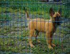福州本地犬舍出售精品马犬包纯包健康签协议三年包换