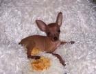 出售纯种极品小鹿幼犬/铁包金/多色可选/大骨/包纯种健康