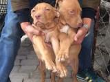 2-3个月比特犬幼犬价格是多少 小比特犬训练