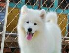 出售纯种萨摩耶幼犬、专业养殖、健康品质、品相完美