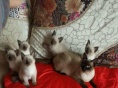 出售纯种健康蓝眼精灵般的暹罗猫 暹罗幼猫非常忠诚