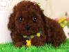 冠军后代双血统泰迪犬