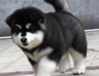 北京国泰宠物狗场出售阿拉斯加多少钱200到10000元