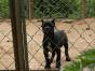 自家大狗生了一窝卡斯罗可以上门看狗父母