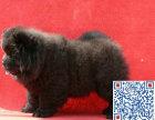 上海哪里有卖藏獒的 藏獒幼犬多少钱一只