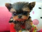 出售精品超小体约克夏 幼犬 签协议包健康可上门