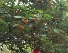 櫻桃大量成熟,采摘的快來