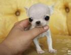 品质保障 完美售后 纯种健康 免费体检 吉娃娃犬