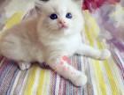 重庆哪里有布偶猫卖 重庆哪里有猫舍