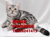 珠海哪里有卖短毛猫多少钱一只短毛猫好养吗已做疫苗包健康纯种