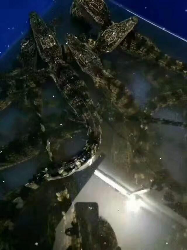 矮马的价格羊驼黑天鹅孔雀鸵鸟鳄鱼苗现货出售
