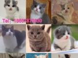 柳州本地猫舍长期出售英短和短腿猫咪