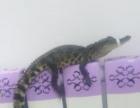宠物泰国湾鳄