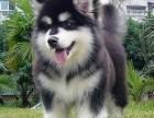 宁波养殖基地直销阿拉斯加犬及其它幼犬 签协议 送用品