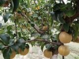 占地梨树苗,2公分梨苗,3公分梨树苗,4公分梨树苗