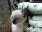 猫舍火爆直销著名的宠物猫暹罗猫全国发货支持支付宝
