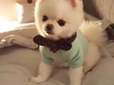 南京本犬舍出售東德牧羊犬 羅威納犬 杜賓犬等