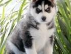 经典三把火双蓝眼 堪称帅名犬 高品质哈士奇待售