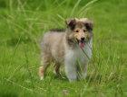 哪里有牧羊犬出售 纯种牧羊犬多少钱