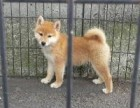 北京本地犬舍直销纯种,柴犬,质保三个月
