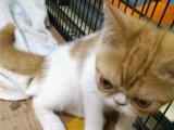 3个月 大体型 红加白加菲猫便宜出售