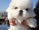 京巴多少钱一只 哪里有卖京巴幼犬的