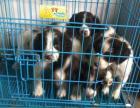 出售纯种史宾格猎犬 缉毒犬 公母都有 健康品质保障