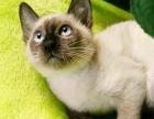 海豹重点色暹罗猫 暹罗猫幼崽宠物 纯种健康活体
