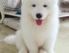 可爱的大白熊冷酷的外表温柔的内心最忠诚的家庭犬