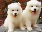 南京本地犬舍出售纯种幼犬,罗威纳,保证健康,血统纯正,