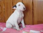 纯种牛头梗犬 弹头牛头梗 海盗眼 纯白色牛头梗幼犬